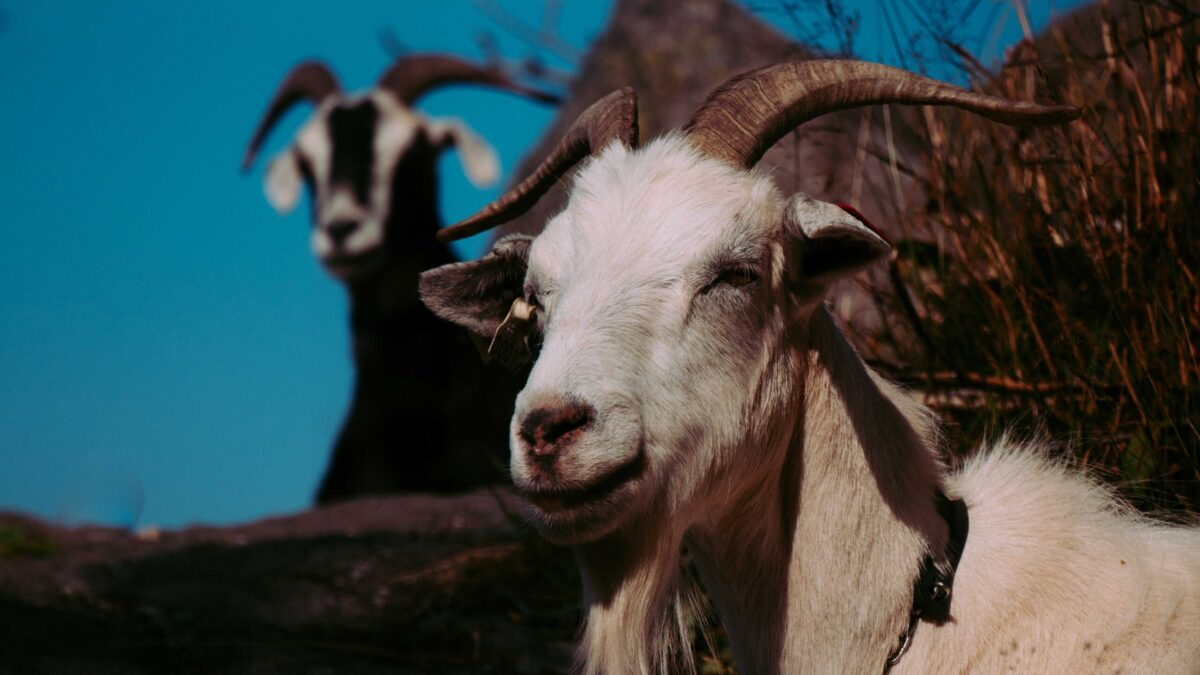 Goats Blue Sky Goat Rodeo Project HR Industry Blog